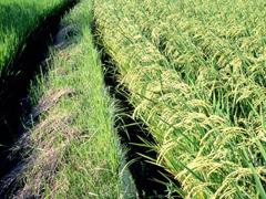 お米の品種(伝統編)の画像